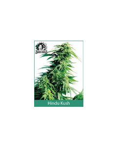 Hindu Kush Sensi Seeds (Indoor / Regular)