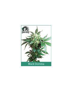 Black Domina Sensi Seeds (Indoor / Regular)