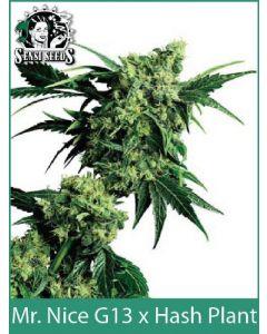 G13 X Hash Plant | Sensi Seeds (Indoor / Regular)