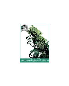 Northern Lights #5 x Haze Sensi Seeds (Indoor / Regular)