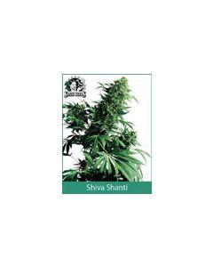 Shiva Shanti Sensi Seeds (Indoor / Regular)