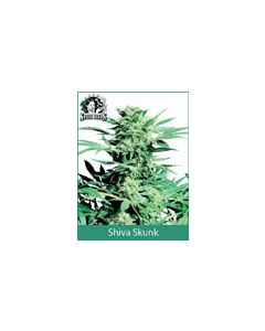 Shiva Skunk Sensi Seeds (Indoor / Regular)