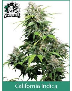 California Indica Sensi Seeds (Indoor / Regular)