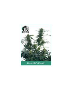 Guerrillas Gusto Sensi Seeds (Outdoor / Regular)