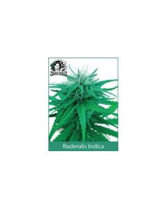 Ruderalis Indica Sensi Seeds (Outdoor / Regular)