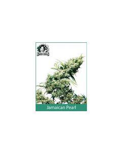 Jamaican Pearl Sensi Seeds (Indoor / Regular)