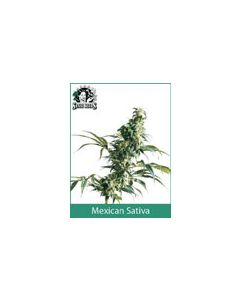 Mexican Sativa Sensi Seeds (Outdoor / Regular)