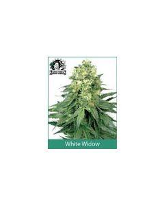 White Widow Regular Sensi WL
