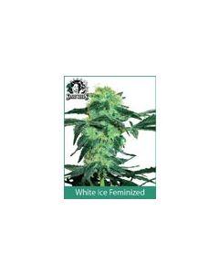 White Ice (Feminised) White Label