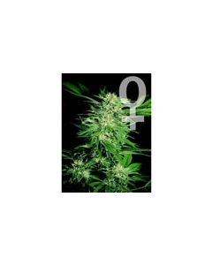 Big Bud Feminised Sensi Seeds