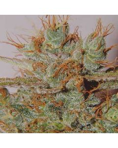 White Widow Spliff Seeds