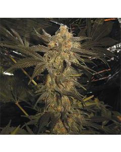 Super Skunk Feminised Spliff Seeds