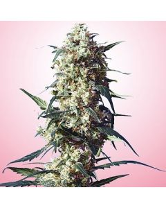 Strawberry Feminised Spliff Seeds