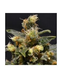 AK CBD Seeds