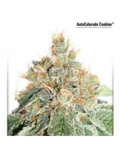 AutoColorado Cookies Dutch Passion