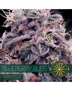 Blueberry Bliss AutoFem Zaden