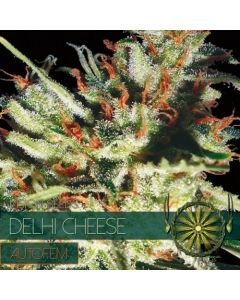 Delhi Cheese 5 Autoflower Zaden