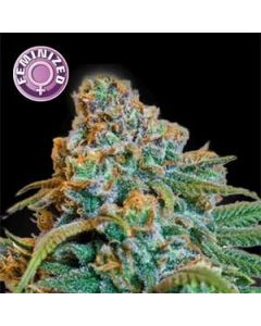 Greengo Bio Haze Seeds