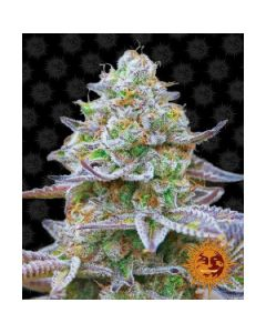 Gorilla Zkittlez Cannabis Seeds