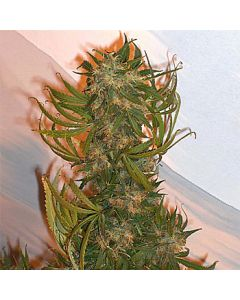Haze #1 seeds