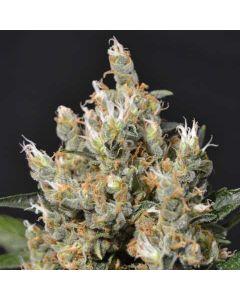 Kali CBD Seeds