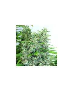 Kali Mist Regular Seeds