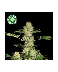 Bubblegum Autoflower Seeds