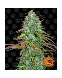 LSD Auto Cannabis Seeds