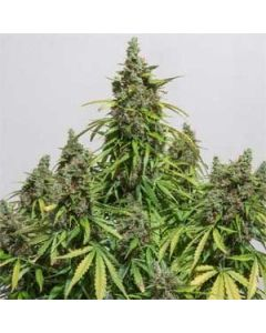 Mazar Autoflower Dutch Passion