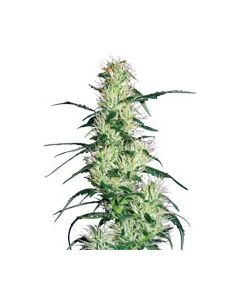 Purple Haze Feminized