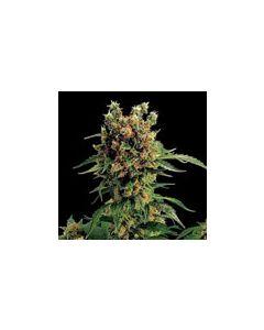 California Hashplant Dinafem