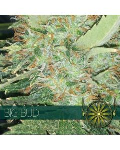 Big Bud Vision Seeds