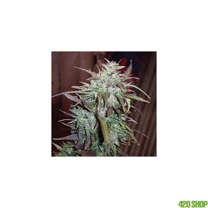 Jack F1 (Regular) Spliff Seeds