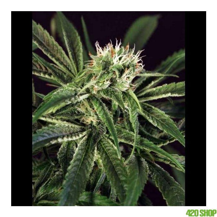 Amnesia #7 - Exotic Seeds