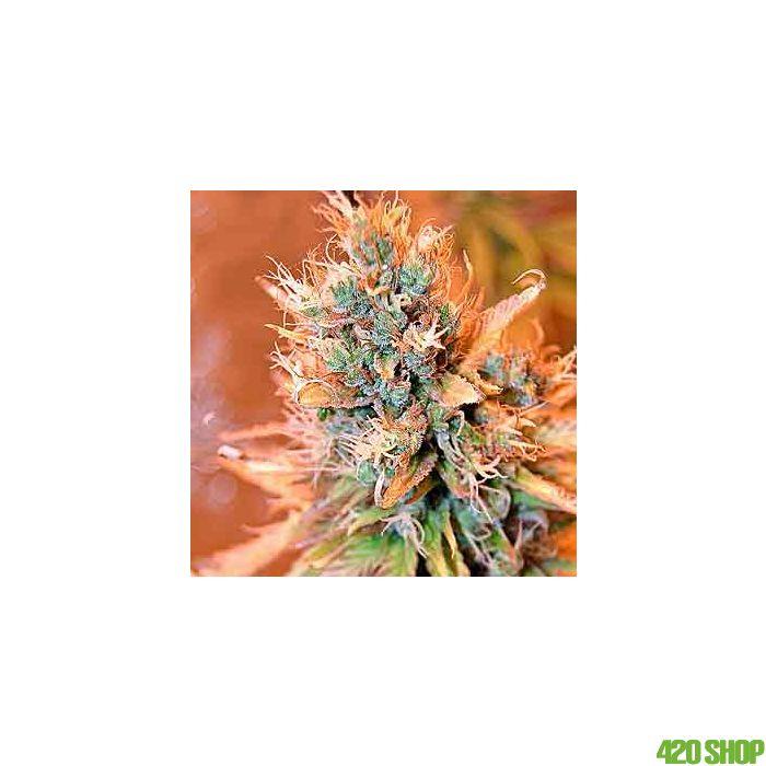 Blue Medi Kush Spliff Seeds