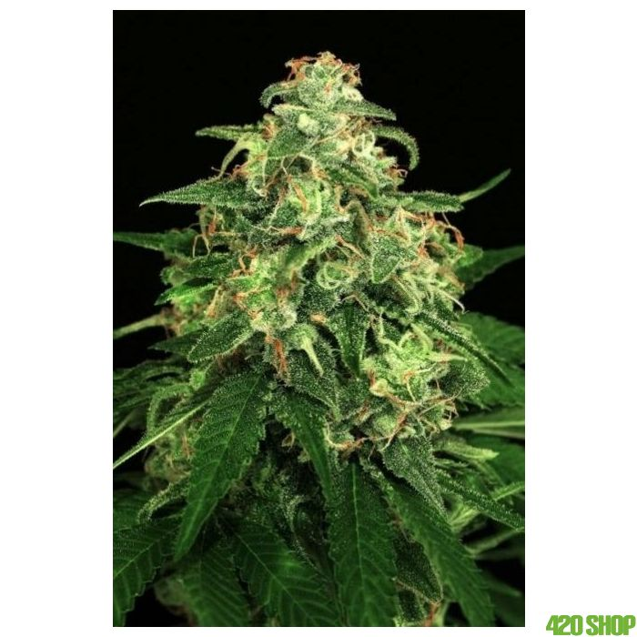 Mango Cream Exotic Seeds