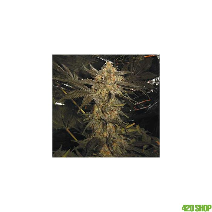 Super Skunk Spliff Seeds