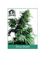 Shiva Shanti Sensi Seeds (Indoor / Regular)