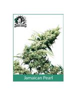 Jamaican Pearl Sensi Seeds (Indoor / Regular)