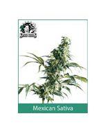 Mexican Sativa Sensi Seeds (Outdoor / Regular)