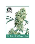 Ed Rosenthal Super Bud Sensi Seeds (Indoor / Regular)