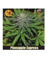 Pineapple Express Autoflower Barneys Farm
