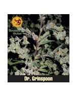 Dr Grinspoon (Feminised) Barneys Farm