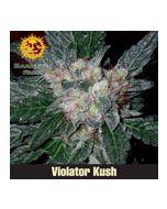 Violator Kush Barneys Farm