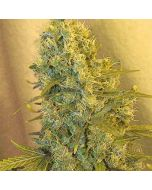 Jack F1 Feminised Spliff Seeds