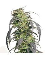 Gold Rush Outdoor Feminised Spliff Seeds