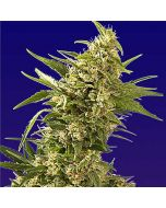 AK Autoflower Feminised Spliff Seeds