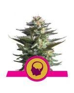 Amnesia Haze Gefeminiseerde Zaden | Royal Queen Seeds