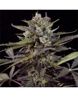 AutoBlueberry Dutch Passion