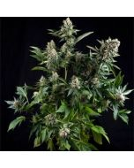 Auto White Widow Pyramid Seeds